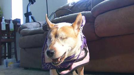Scout, an 11-year-old Jack Russell terrier who is blind, was in her owner's truck when it was stolen. Photo Credit: cbsnews.com