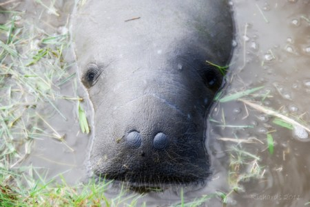 Manatees are now in a vulnerable state due to human interactions with their habitats. Photo Credit: Buzzfeed