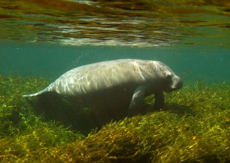 Manatees do body rolls as they play. Photo Credit: Buzzfeed
