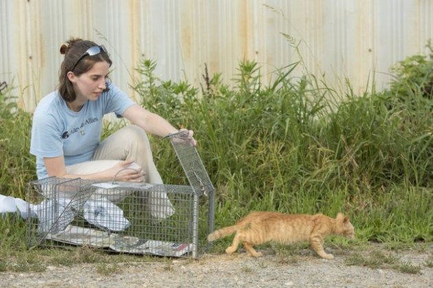 An Alley Cat Allies staff member returns a cat after it has been neutered, vaccinated and eartipped (the universal symbol for a neutered and vaccinated cat) by a veterinarian. Photo Credit: Alley Cat Allies