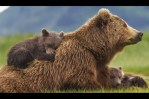 Disneynature Bears Sky, Scout and Amber