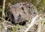 Hedgehog in the garden.