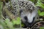 Hedgehog Eating In The Garden