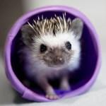 Hedgehog playing