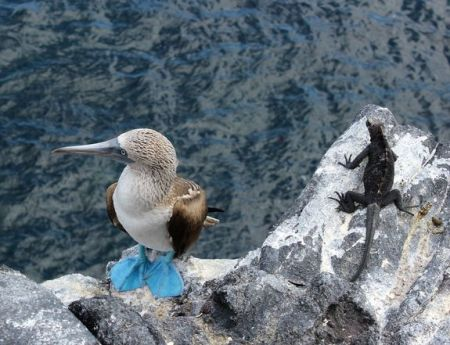 birds, endangered species, endangered animals, blue footed booby, galapagos islands, livescience