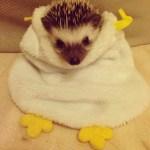 Hedgehog in a Towel