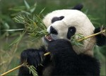 Panda Sitting And Eating Bamboo