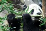 Panda Sniffing Bamboo