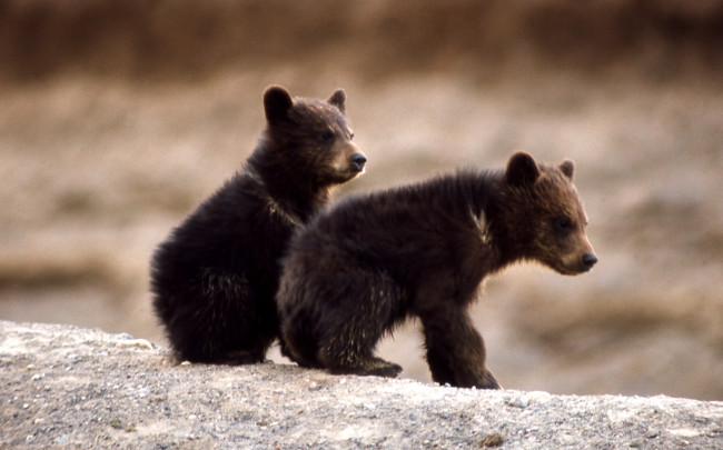 Bear cubs are dependent on their parents for over a year. Photo credit: National Park Service