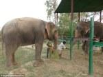 Raju the elephant meets girlfriend