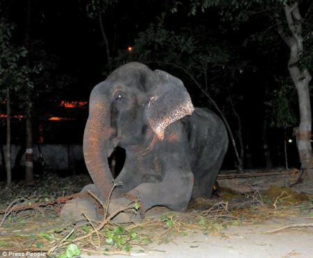 Every day, the majestic animal was forced to hold out his trunk and beg for coins from passers-by - surviving only on plastic and paper for food. Photo credit: Press People