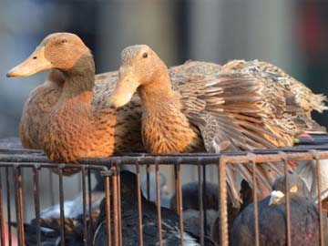 Foie gras comes from the extracted and fattened livers of ducks or geese. Photo credit: NDTV