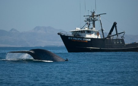 Endangered whale populations have decreased from 4,900 in the 20th century to 2,500. Photo credit: PHYS.org