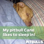 Pit Bull Napping In Bed