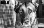 NKLA Shelter Dog
