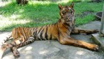 Indonesia, Surabaya zoo, animal abuse, zoos, tigers