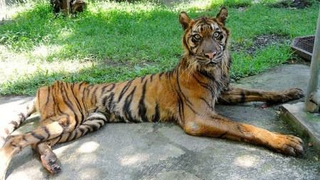 Indonesia, Surabaya zoo, animal abuse, zoos, tigers