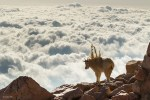 Wildlife, gallery, wildlife gallery, wildlife photographer of the year, competition. goats