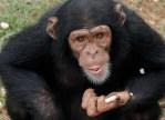 Mason, Adorable 5 yr Old Chimp