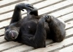 Chimp Hanging Out In The Sun