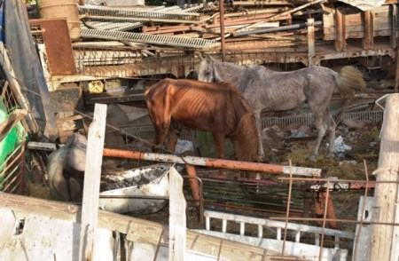 Horses in Israel were forced to work long hours in the heat without access to shade or water. Photo credit: CHAI