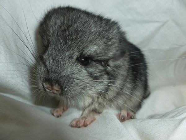 Chinchilla, chinchillas, animal facts, cute animal facts, cute animal pictures, pictures