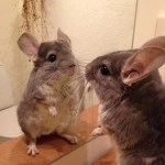 Chinchilla, chinchillas, animal facts, cute animal facts, cute animal pictures, pictures