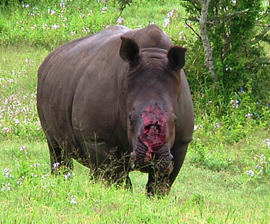Thandi the day after the attack that left her with terrible injuries. Photo Credit: Dr Will Fowlds