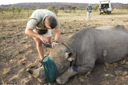During poaching, some rhinos are still alive when their horns and possibly their faces are brutally removed. Photo credit: Daily Mail