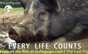 """The Last Pig"" focusses on Comis' personal struggles as a pig farmer. Photo credit: The Last Pig"