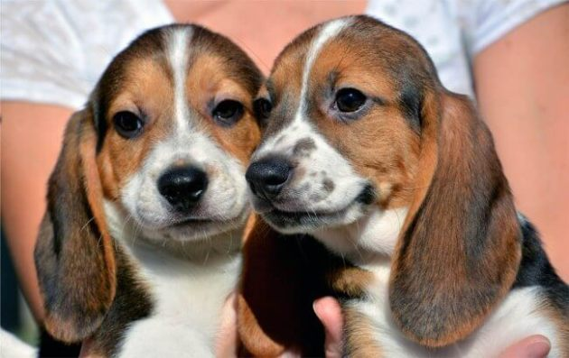 seven week-old puppies born by in vitro fertilization at the Baker Institute for Animal Health. Photo Credit: Michael Carroll/Cornell University College of Veterinary Medicine via AP