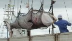 japanese whale hunters embark on whale hunting in Southern Pacific