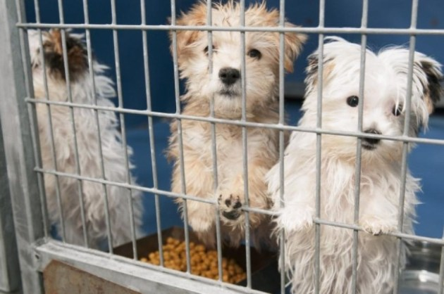 These puppies were rescued from a fire at Prince and Princess Pet Boutique and taken to Lied Animal Shelter in Las Vegas. Photo Credit: Erik Verduzco, A