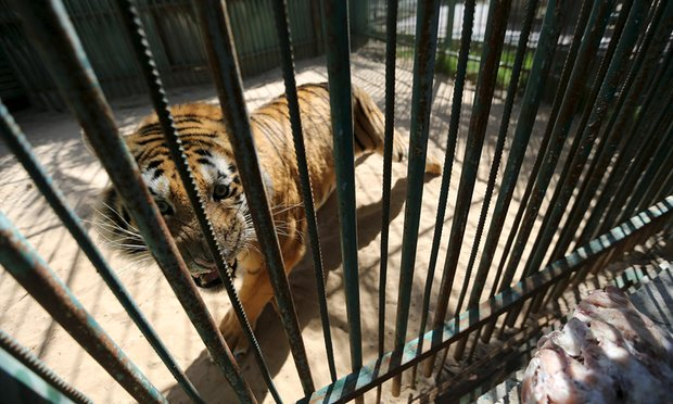A tiger is seen inside an enclosure at a zoo in Khan Younis in the southern Gaza Strip. Photograph: Ibraheem Abu Mustafa/Reuters