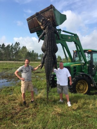 15 foot gator caught in Okeechobee The 800lb creature was fatally shot in Okeechobee, Florida, on Saturday after terrorizing the cattle on a farm. Lee Lightsey, the owner of Outwest Farms in Okeechobee, and hunting guide, Blake Godwin, discovered the enormous animal in their cattle ponds on April 2. On Saturday the creature surfaced around 20ft from them, so they shot it. It was so big they had to use a tractor to drag it out. However, they were then able to use the vehicle to proudly show off their catch. They plan to donate the gator's meat to charity and have the alligator taxidermied for display at their hunting shows and expos
