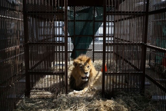 A former circus lion on the outskirts of Lima, Peru, on Tuesday. Thirty-three lions from circuses in Peru and Colombia are heading to a private sanctuary in South Africa. Credit Martin Mejia/Associated Press
