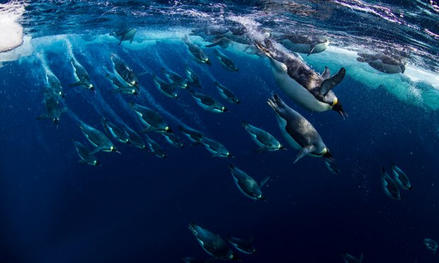 Emperor penguins swimming in the Ross Sea in Antarctica. Photo Credit: Getty Images/National Geographic Creative