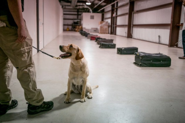 Gghee, a 5-year-old yellow Labrador, ready to sniff a line of suitcases in mid-May at the canine training center at Lackland Air Force Base in San Antonio. Photo Credit: Ilana Panich-Linsman via NY Times