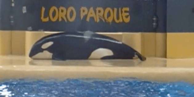 Morgan beached herself for more than ten minutes after the orca show at Loro Parque in Tenerife. Photo Credit: Dolphin Project
