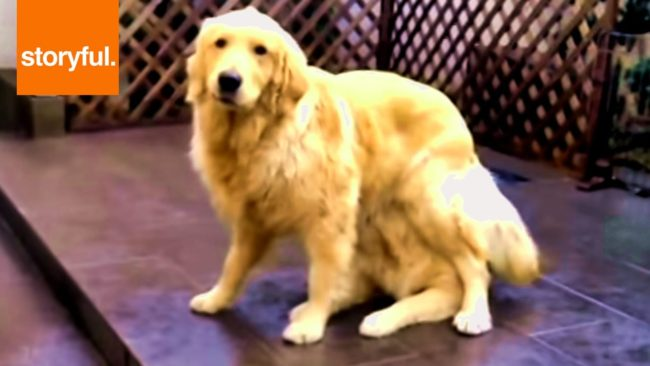 Seeing Double?! Magically Multiplying Golden Retriever