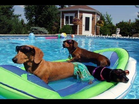 Wiener Dog Pool Party