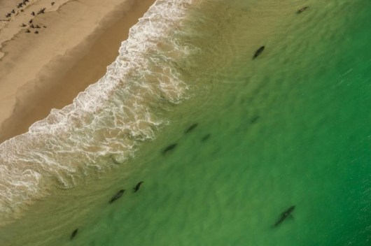 An aerial view reveals a shark and seals along Cape Cod, a popular summer destination. Photo Credit: Brian Skerry via National Geographic