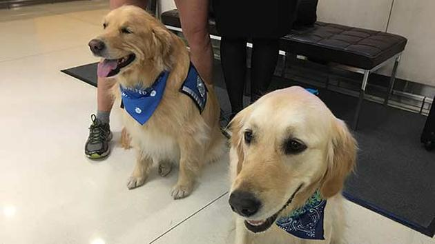 Comfort dogs at Chicago O'Hare International Airport before traveling to Orlando, Florida to comfort families and victims of the Pulse nightclub shooting Saturday night. Photo Credit: ABC 7 Chicago