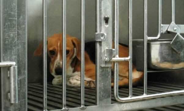 A caged beagle cowers in fear. Photo Credit: PETA