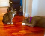 lulu-the-pitbull-with-omar-the-cat