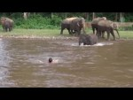 A-young-elephant-rushes-into-a-river-to-save-a-man-from-drowning-2016