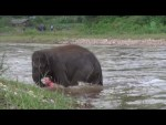 Baby-elephant-rescues-man-who-saved-her