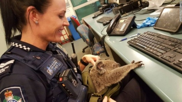 Senior Constable Rio Law holds a koala at the Upper Mount Gravatt Police station in Brisbane, Australia, after it was found in a bag carried by a woman who was being arrested. Photo Credit: Queensland Police via AP Photo