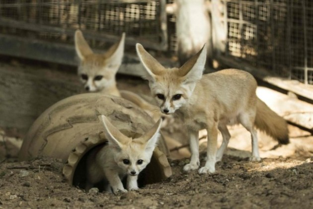 A seven-week old fennec fox (Vulpes zerda) and his mother at the Ramat Gan Safari zoo, on November 6, 2016. Photo Credit: Jack Guez / AFP