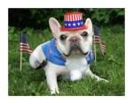 patriotic-french-bulldog-dog-wearing-american-flag-costume